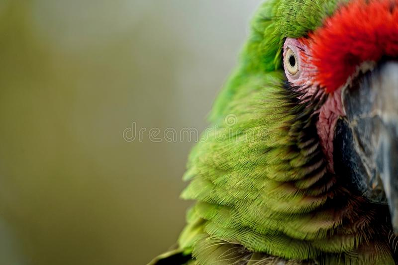 Military Macaw, half face. Military Macaw, Ara militaris, looking directly into camera, close-up and only half the face, negative space blurred khaki green stock images