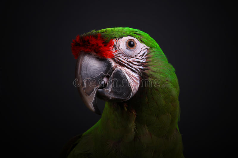 Military macaw stock image