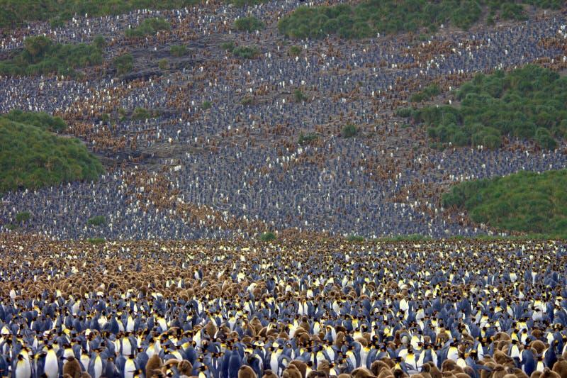 Miljoenen Koningspinguïnen Antarctica royalty-vrije stock fotografie