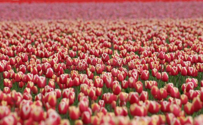 Miljoenen Tulpen royalty-vrije stock foto