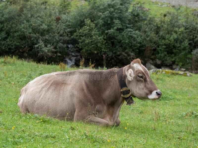 Milk cow on a mountain pasture in summer. Time royalty free stock photography