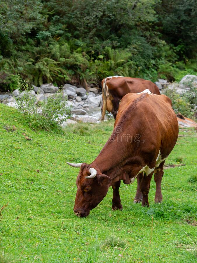 Milk cow on mountain pasture in summer. And stones stock photography
