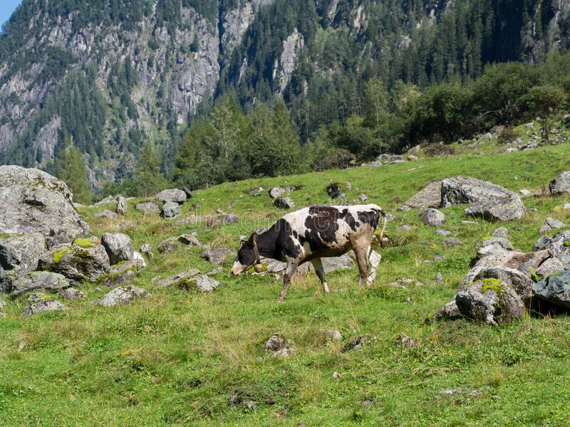 Milk cow on a mountain pasture. On a sunny day royalty free stock image