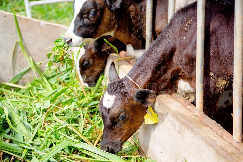 Milk cows in local Thai farm with dirty cow dunk. The Milk cows in local Thai farm with dirty cow dunk stock photography