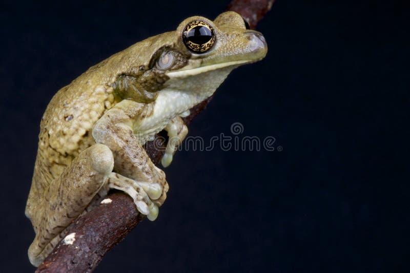 Download Milk frog stock photo. Image of large, basin, rain, brown - 25263048