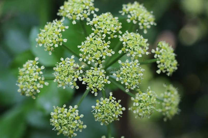 Milk Parsley at the park royalty free stock image