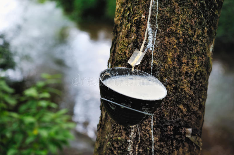 Milk of rubber tree royalty free stock photos