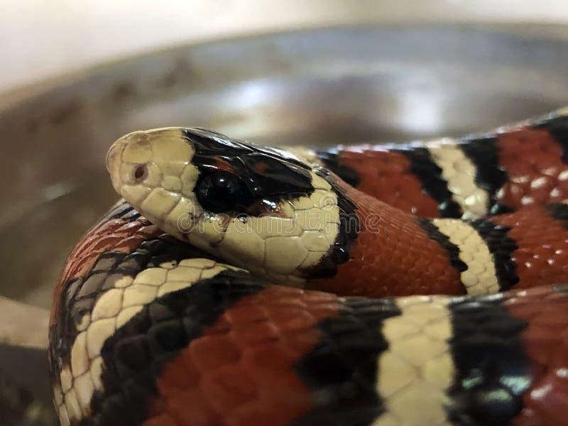 Coral Snake Mimic Stock Photo Image Of Milk Beautiful
