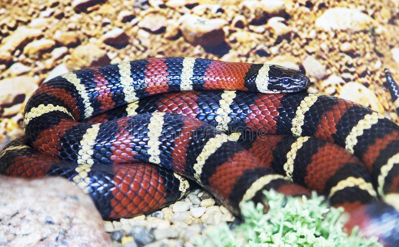 Milk Snake Stock Images - Download 543 Royalty Free Photos