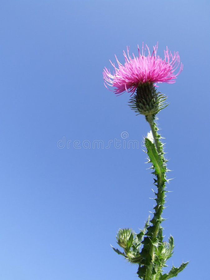 Milk Thistle. Photo with flowers, Close-up and Blue Sky Background stock photos