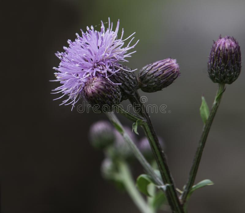 Milk thistle bloom and buds royalty free stock photography