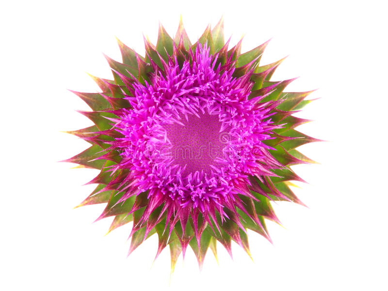 Milk thistle flower. Isolated on white royalty free stock images