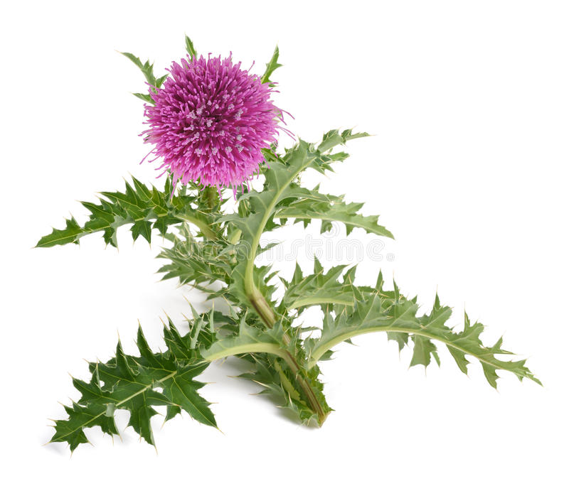 Milk thistle flower. Thistle flower isolated on white background royalty free stock photography