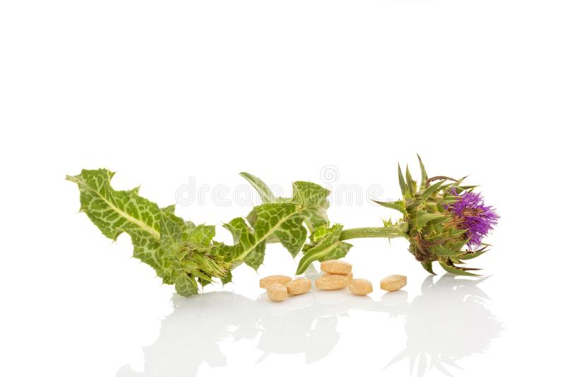 Milk Thistle flower remedy. stock images