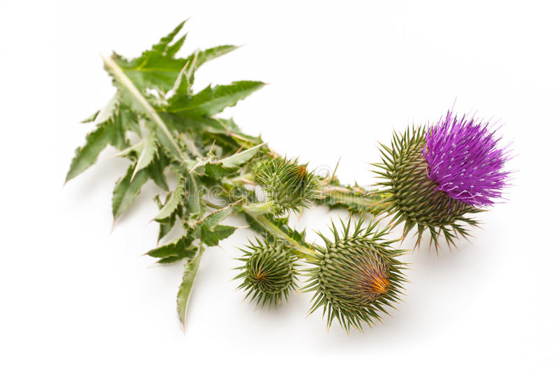 Milk Thistle plant. (Silybum marianum) herbal remedy. Scotch thistle, Cardus marianus, Blessed milk thistle, Marian Thistle, Mary Thistle, Saint Mary's Thistle royalty free stock photo