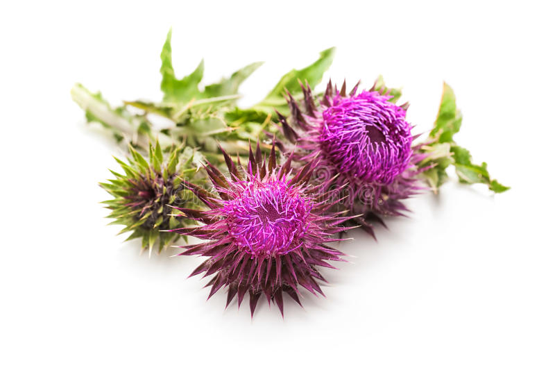 Milk Thistle plant. (Silybum marianum) herbal remedy. Scotch thistle, Cardus marianus, Blessed milk thistle, Marian Thistle, Mary Thistle, Saint Mary's Thistle royalty free stock image