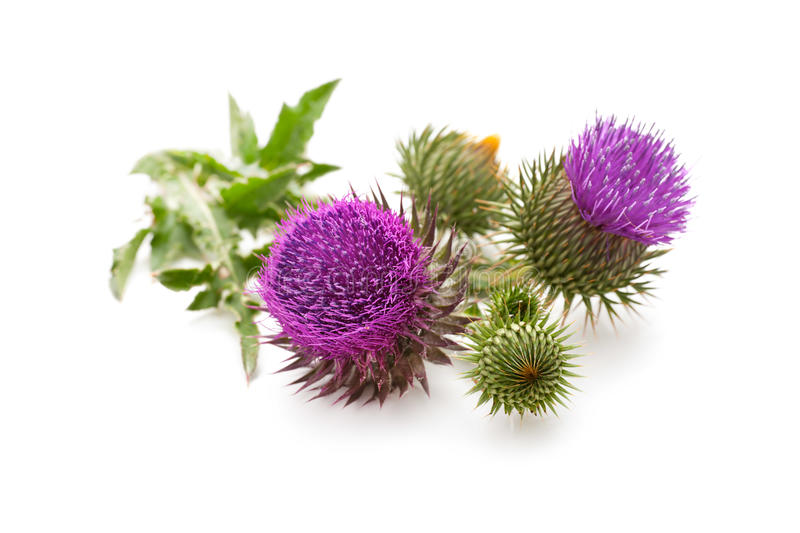 Milk Thistle plant. (Silybum marianum) herbal remedy. Scotch thistle, Cardus marianus, Blessed milk thistle, Marian Thistle, Mary Thistle, Saint Mary's Thistle stock photography