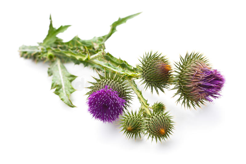 Milk Thistle plant. (Silybum marianum) herbal remedy. Scotch thistle, Cardus marianus, Blessed milk thistle, Marian Thistle, Mary Thistle, Saint Mary's Thistle stock image