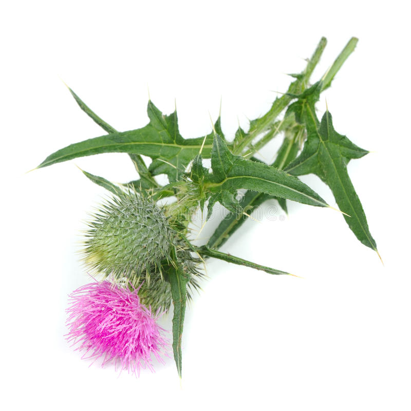 Milk Thistle (Silybum Marianum) with Flower Isolated on White Background royalty free stock photography