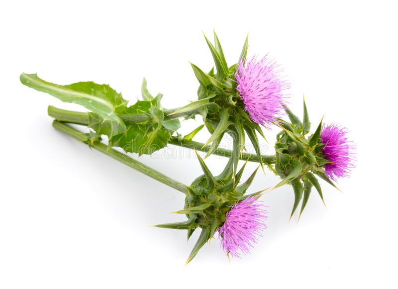 Milk thistle. Silybum marianum has other common names include cardus marianus, milk thistle, blessed milk thistle, Marian Thistle, Mary Thistle, Saint Mary's stock image