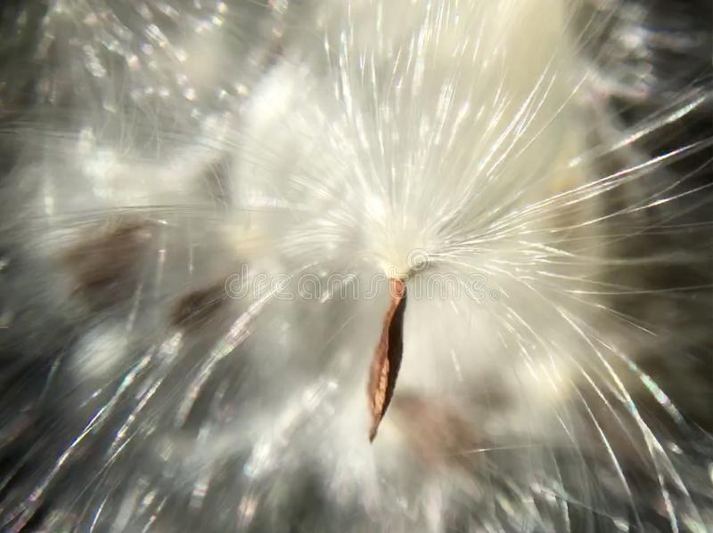Milk weed seed ready to take flight royalty free stock photography