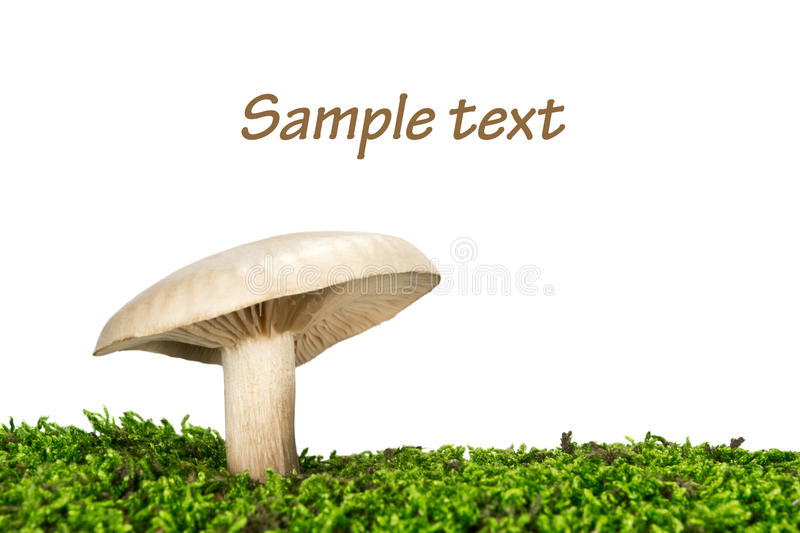 Milk-white brittlegill mushroom russulaceae stock images