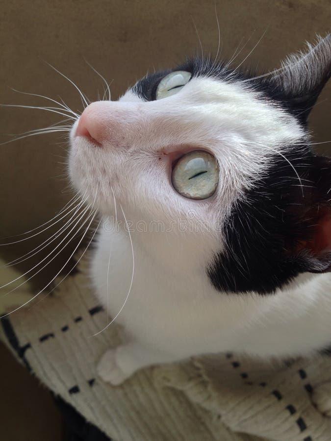 Milka猫 免版税库存照片