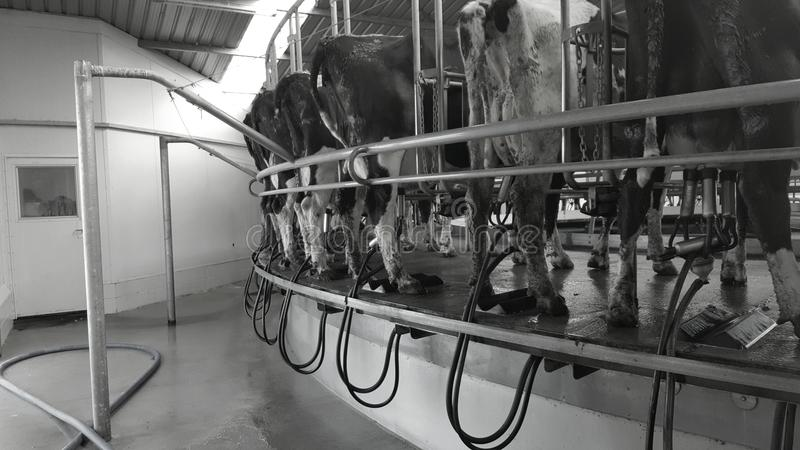 milking stock foto