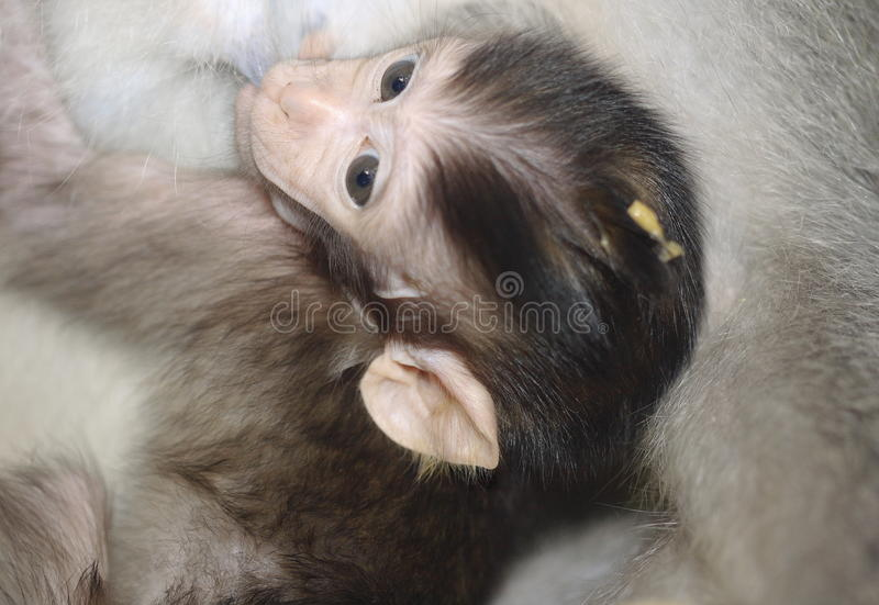 Milking in Balinese macaques royalty free stock images