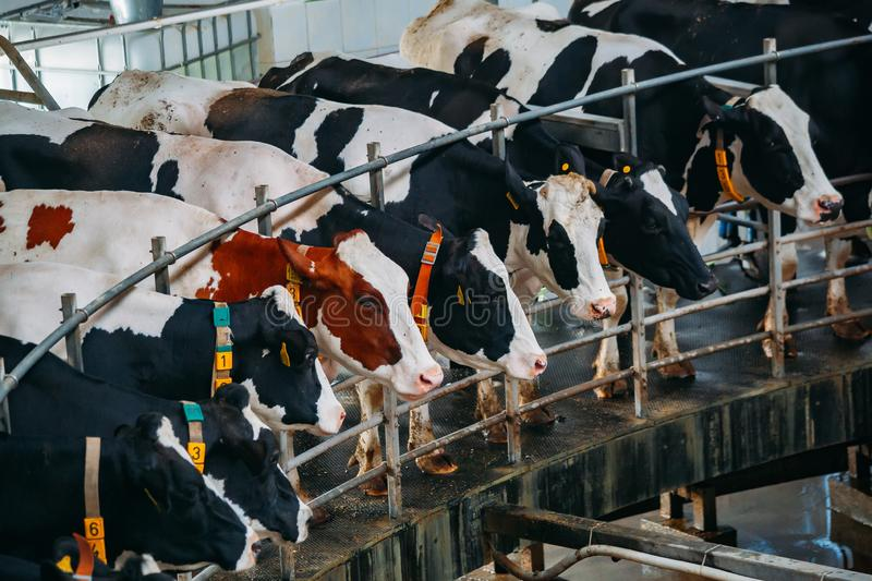 Milking cows by automatic industrial milking rotary system in modern diary farm stock photography