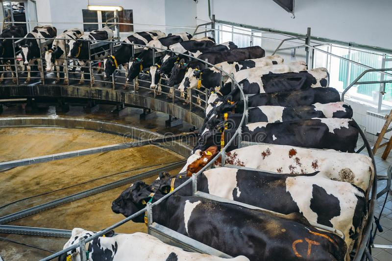 Milking cows by automatic industrial milking rotary system in modern diary farm stock image