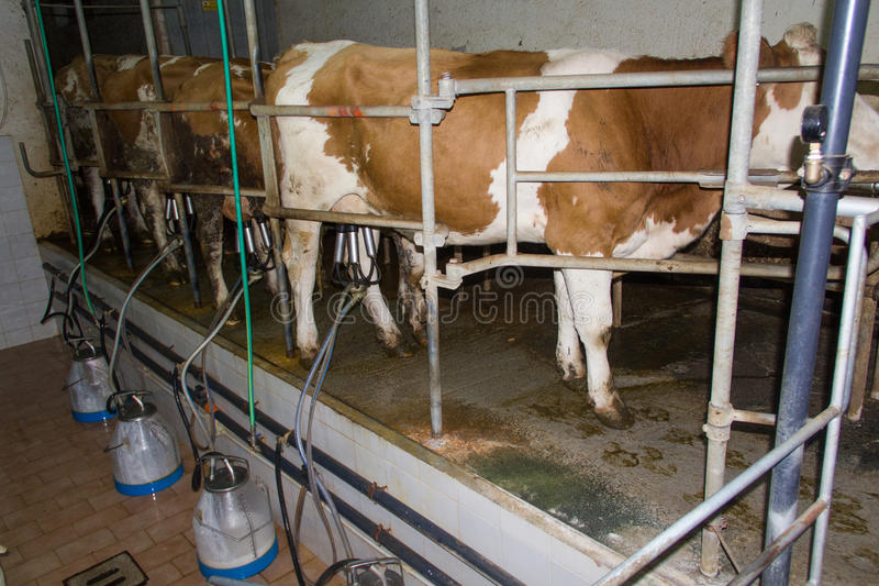 Milking cows stock image