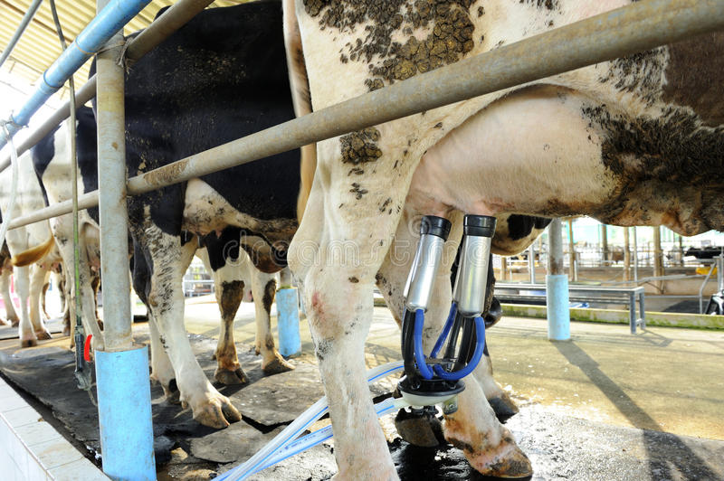 Milking cows machine stock photography