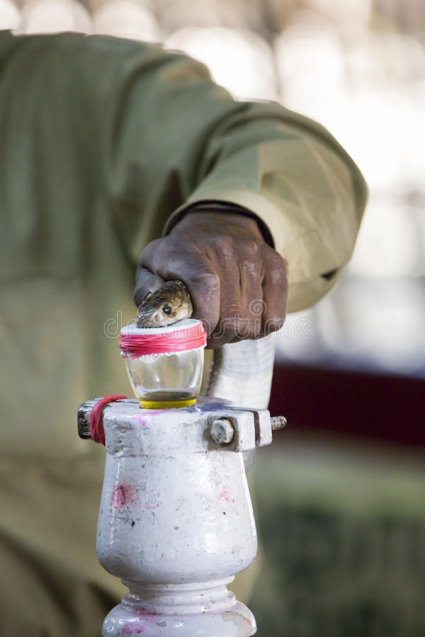 Milking snake for venom. Milking snake cobra for venom poison India Tamil Nadu stock image