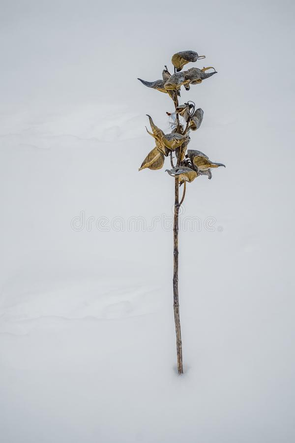 Milkweedörter på snö arkivfoto