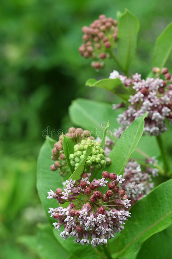 milkweed 2 общих стоковые изображения rf
