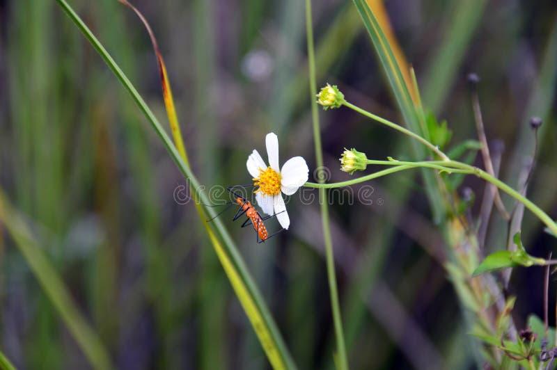 Milkweed assassin bug on a flower stock photography