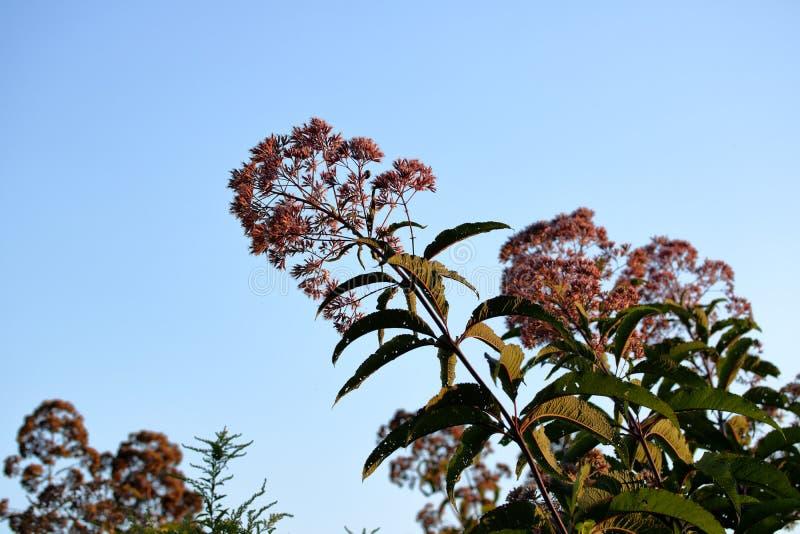 Milkweed-Blumen lizenzfreie stockfotografie