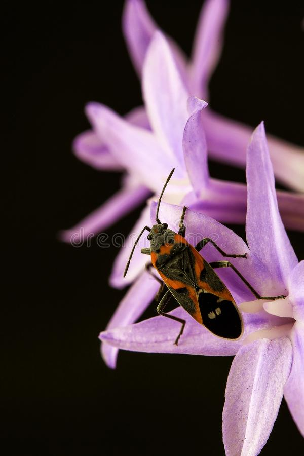 Milkweed Bug Perching on Pink Flower in Close-up Photography stock photography