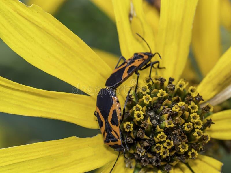 Milkweed bug on plant stock photo