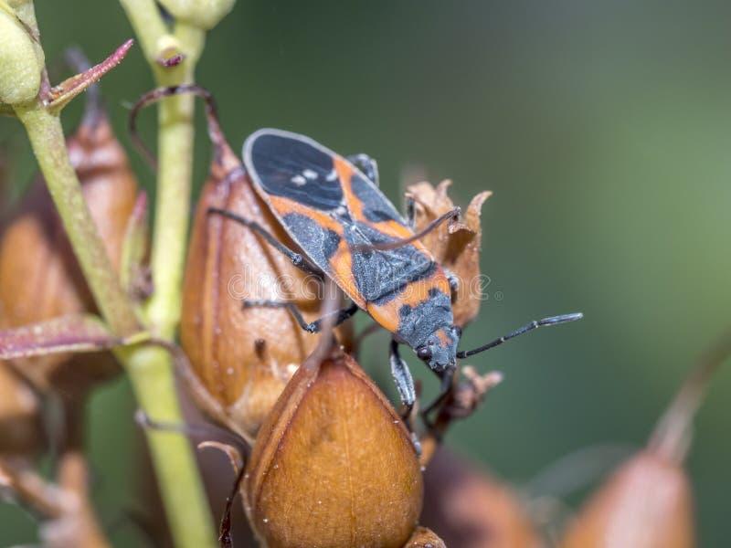 Milkweed bug on plant royalty free stock image