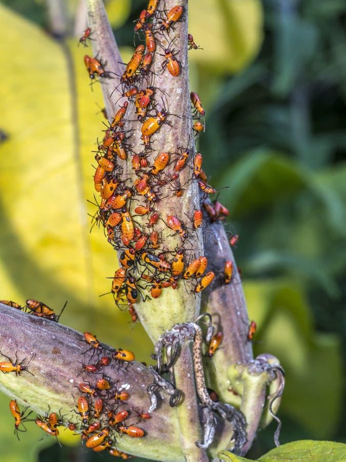 Milkweed bug on plant royalty free stock photo