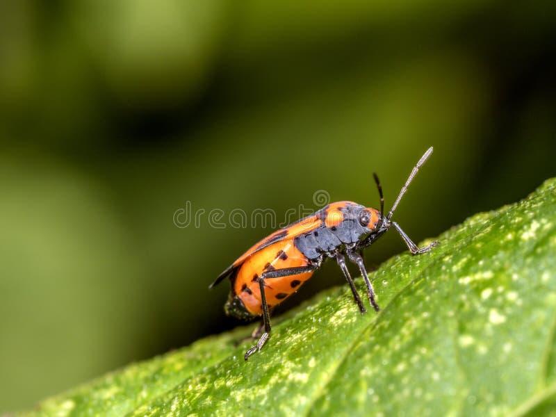 Milkweed bug on plant stock image