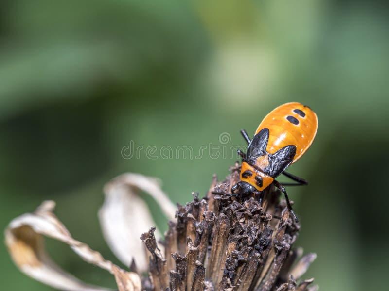 Milkweed bug on plant royalty free stock photos