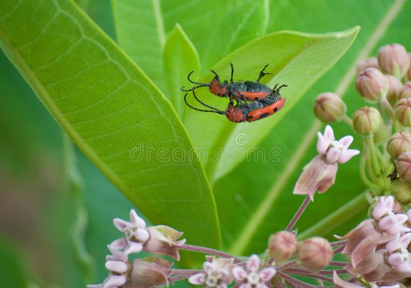 Milkweed bugs royalty free stock images
