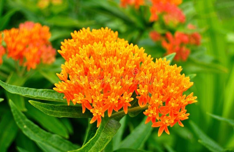 Milkweed del Weed di farfalla (tuberosa del Asclepias) fotografia stock