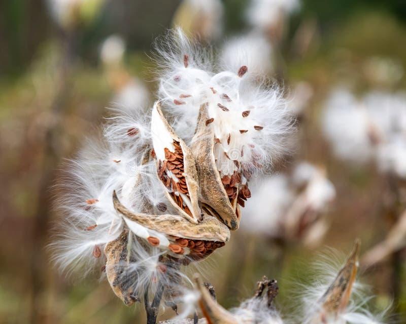 Milkweed die seedpod in de wind barsten royalty-vrije stock foto