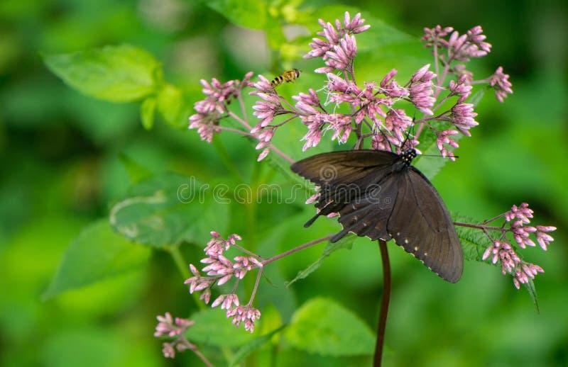 Milkweed et papillon communs de machaon de Spicebush photographie stock