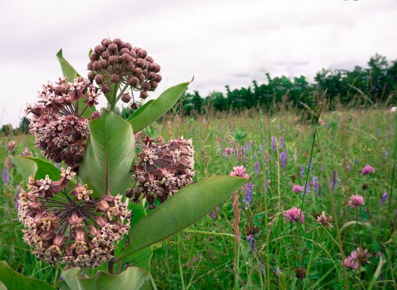 Milkweed stock photo