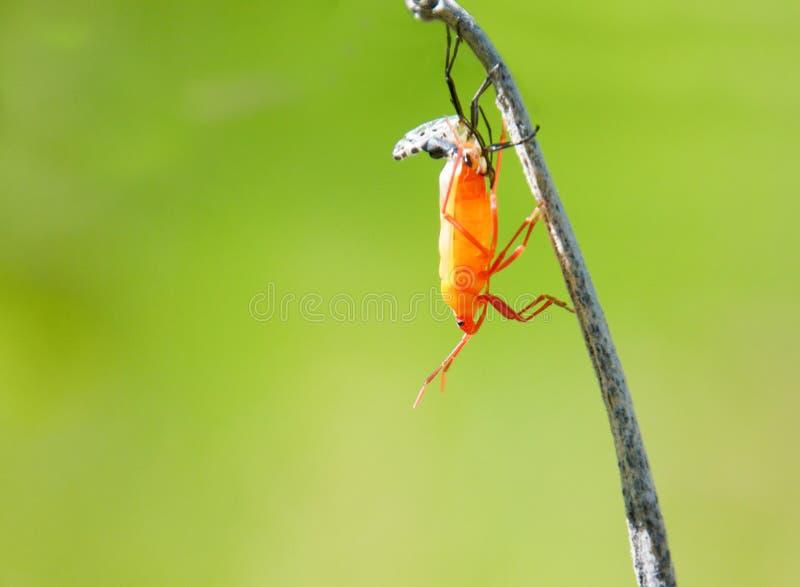 A milkweed insect te voorschijn komt uit zijn exoskeleton royalty-vrije stock fotografie